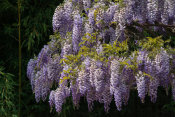 Martha Benedict - Wisteria in the Japanese Garden, Huntington Botanical Gardens
