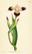 James Sowerby - Iris Versicolor. Particoloured Iris, 1787