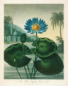 Robert John Thornton - The Blue Egyptian Water Lily, 1799