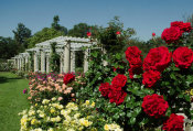 Lisa Blackburn - Rose Garden with ˋDrop Dead Redˊ Roses, Huntington Botanical Gardens