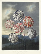 Robert John Thornton - A Group of Carnations, 1803
