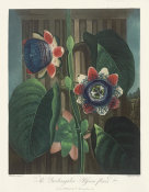 Robert John Thornton - The Quadrangular Passion Flower, 1803