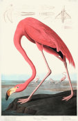 John James Audubon - American Flamingo, 1835 - 1838