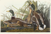 John James Audubon - Mallard Duck, 1831 - 1834