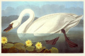 John James Audubon - Common American Swan, 1835 - 1838