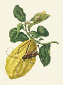 Maria Sibylla Merian - Citron with Monkey Slug Moth and Harlequin Beetle, 1705