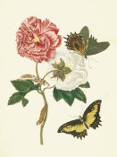 Maria Sibylla Merian - Confederate Rose with Androgeus Swallowtail Butterfly, 1705