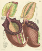 Matilda Smith - Nepenthes rajah, 1905