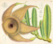 Matilda Smith - Stapelia gigantea, 1889