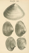 Josiah Keep - California clam shells: Triangle-shell, Nuttall's Rock-clam, Carpet-shell, and others, 1881
