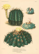 Nathaniel Lord Britton - Echinopsis aurea and Copiapoa coquimbana, with Lophophora williamsii, 1919