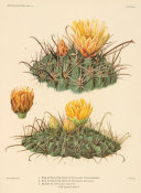 Nathaniel Lord Britton - Ferocactus townsendianus and F. wislizeni, with flower of F. diguetii, 1919