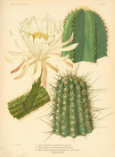 Nathaniel Lord Britton - Eulychnia, Lemaireocereus, and Nyctocereus, 1919