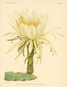 Nathaniel Lord Britton - Hylocereus ocamponis, 1919