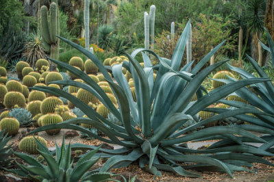 Martha Benedict - Desert Garden with Agaves