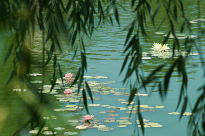 Martha Benedict - Lily Ponds at the Huntington Botanical Gardens