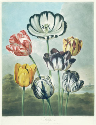 Robert John Thornton - Tulips, 1799