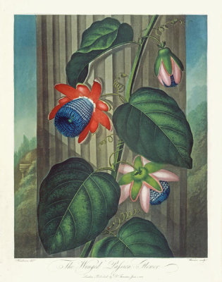 Robert John Thornton - The Winged Passion Flower, 1799