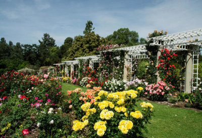 Lisa Blackburn - Rose Garden View at the Huntington Botanical Gardens