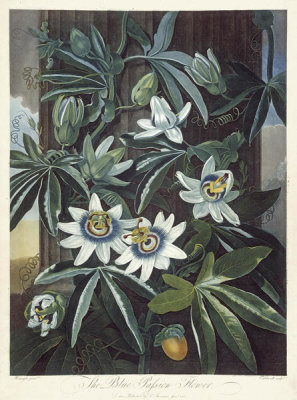 Robert John Thornton - The Blue Passion Flower, 1803