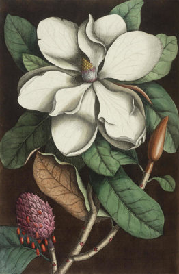 Mark Catesby - The Laurel Tree of Carolina [Magnolia Grandiflora], 1731 - 1743