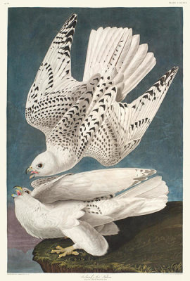 John James Audubon - Iceland or Jer Falcon, 1835 - 1838