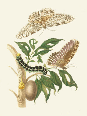 Maria Sibylla Merian - Thysania agrippina moth, caterpillar and larva, 1705