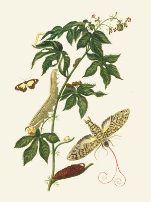 Maria Sibylla Merian - Sphinx Moth, Larva, Pupa, and Flower, 1705