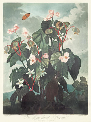 Robert John Thornton - The Oblique-Leaved Begonia (Begonia ritida lobliqua), 1803