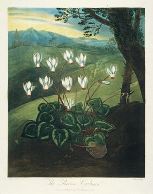 Robert John Thornton - The Persian Cyclamen, 1803