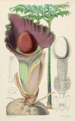 Walter Hood Fitch - Amorphophallus dubias, 1875