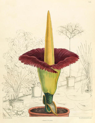 Matilda Smith - Amorphophallus titanum, 1891