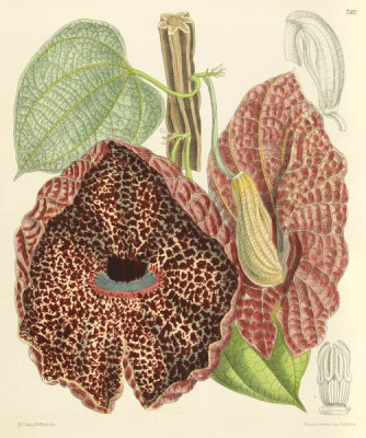 Matilda Smith - Aristolochia clypeata, 1897