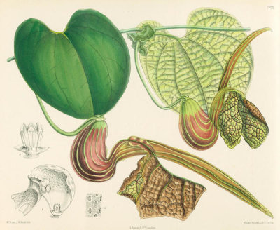 Matilda Smith - Aristolochia Hians, 1889