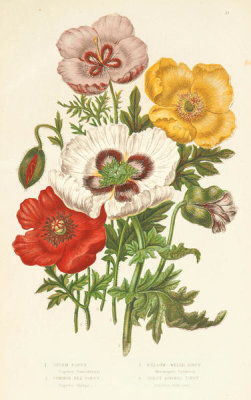 Anne Pratt - Opium Poppy, Common Red Poppy, Yellow Welsh Poppy, and Violet Horned Poppy, 1873
