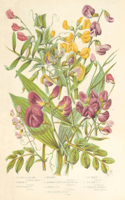 Anne Pratt - Vetchlings, 1873
