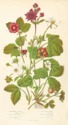 Anne Pratt - Brambles, Raspberries, and Wood Strawberry, 1873
