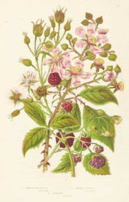 Anne Pratt - Common Raspberry, Common Bramble, and Dewberry, 1873
