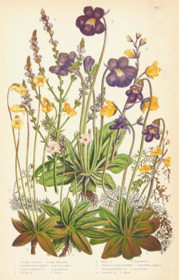 Anne Pratt - Common Vervain, Butterworts, and Bladder-worts, 1873
