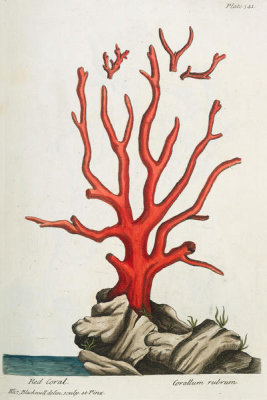Elizabeth Blackwell - Red Coral, 1737