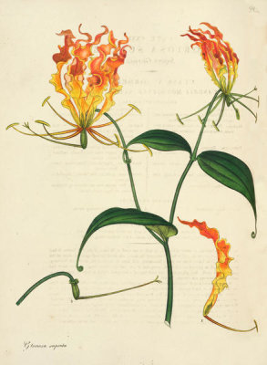 Henry Charles Andrews - Gloriosa superba, 1799-1814