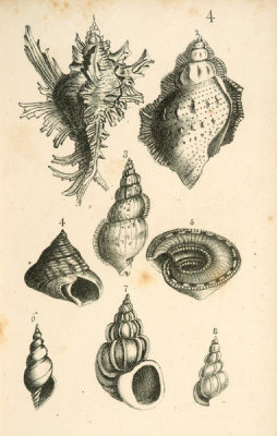 Elizabeth Mayo - Shells: Murex, Trochus, and Turbo, 1838