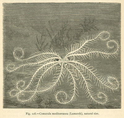 Louis Figuier - Comatula mediterranea - feather star, 1869