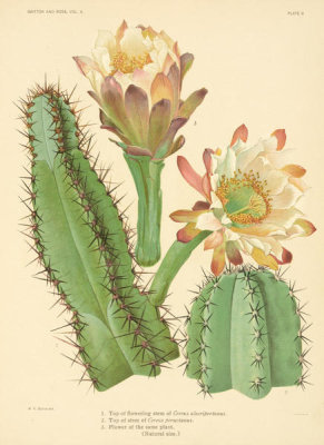 Nathaniel Lord Britton - Cereus alacriportanus and C. peruvianus, 1919