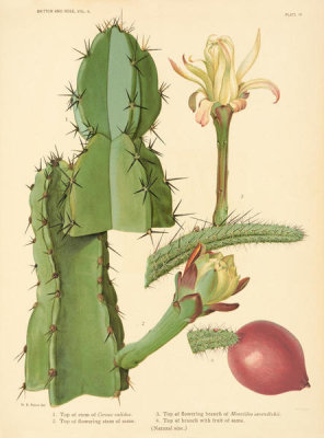 Nathaniel Lord Britton - Cereus validus and Monvillea cavendishii, 1919
