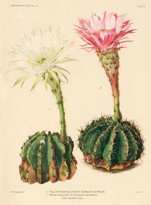 Nathaniel Lord Britton - Echinopsis turbinata and E. multiplex, 1919