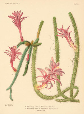 Nathaniel Lord Britton - Aporocactus leptopis and A. flagelliformis, 1919