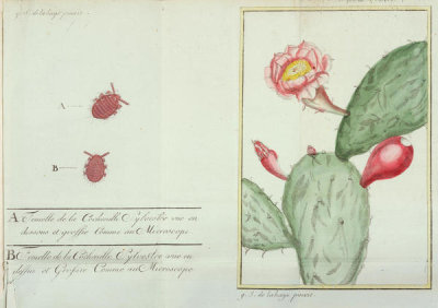 G.S. de la Haye - Cochineal insect and Cochineal Nopal Cactus, 1787