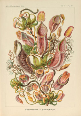 Ernst Haeckel - Nepenthes, 1904
