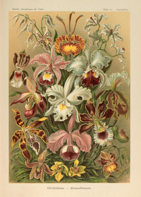Ernst Haeckel - Cypripedium, 1904